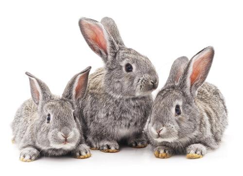 Consejos para la presentación de conejos