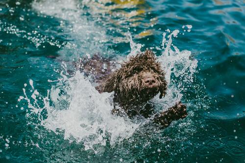 Cuidados del pelaje del perro de agua