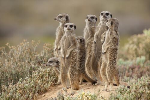 Cuidados del suricato como mascota