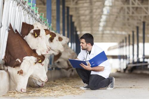 Torsión de cuajar en vacas