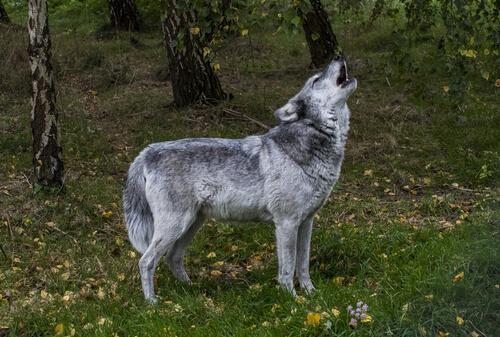 Diferencia entre animales salvajes y domésticos: lobo