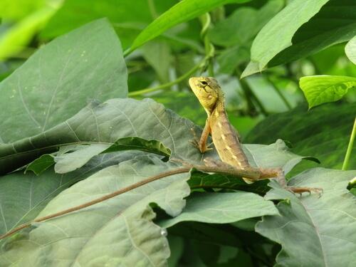 Diferencia entre la lagartija y la salamandra