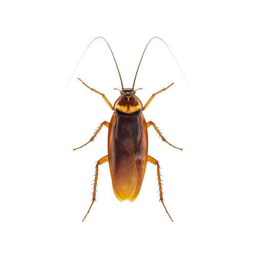 Eliminar cucarachas en casa