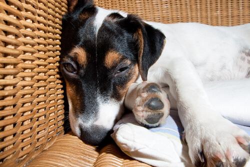 La enfermedad de la meningitis en perros: tratamiento