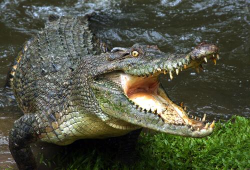 El peligro de las aguas con cocodrilos