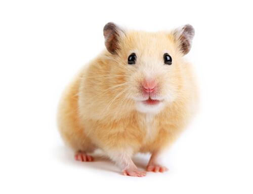 Especies de hámster: sirio o dorado