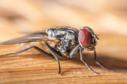 Especies de moscas: ejemplos