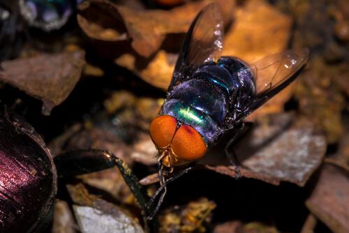 Especies de moscas: moscarda azul