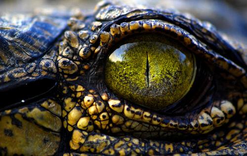 Esperanza de vida del caimán