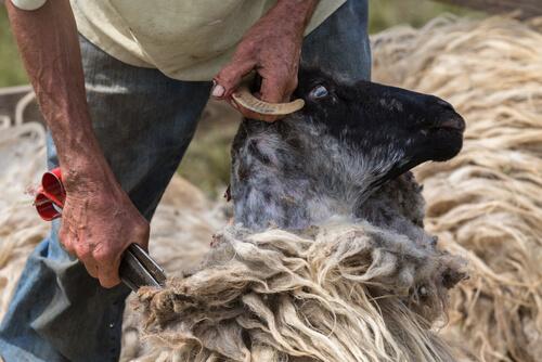 Tonte des moutons : conseils.