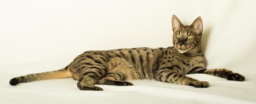 Gato Savannah: características