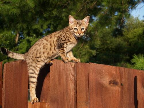 Gato Savannah: comportamiento