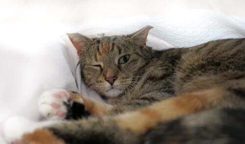Un gato puede sufrir uveitis felina: diagnóstico
