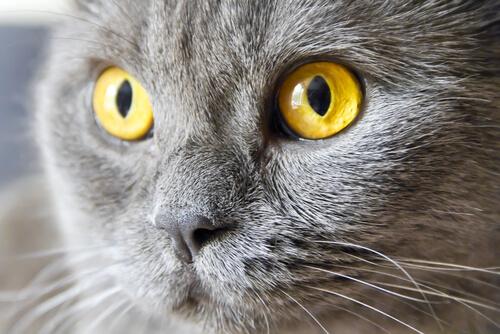 Un gato puede sufrir uveitis felina: causas