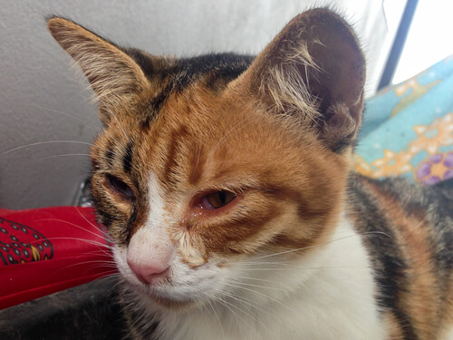 Un gato puede sufrir uveitis felina: tratamiento