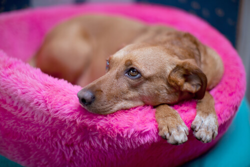 Brown dog laying in a pink dog bed