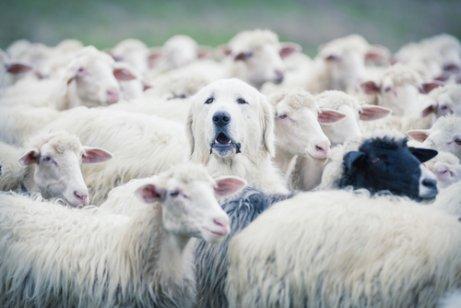 Instinto de guardia en perros