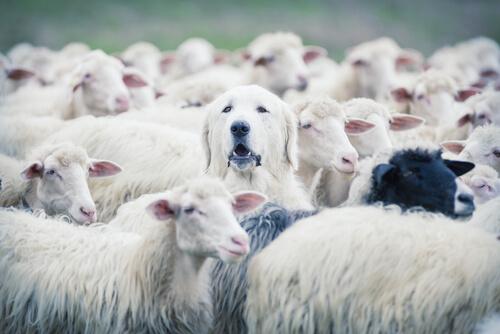 L'instinct de garde chez les chiens.