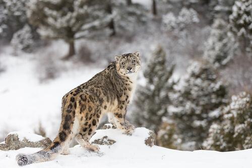 Leopardo de las nieves: características, comportamiento y hábitat