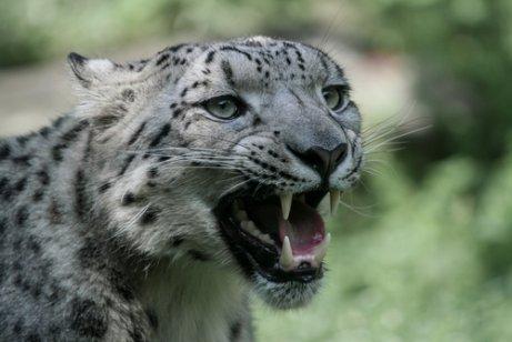 Leopardo de las nieves: comportamiento