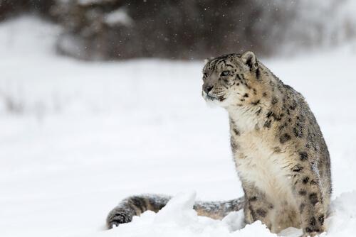 Leopardo de las nieves: hábitat