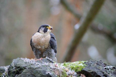 Cuáles Son Las Aves Más Rápidas Mis Animales