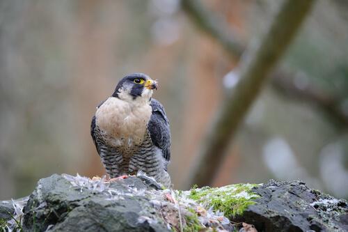 Licencia para halcones como mascota
