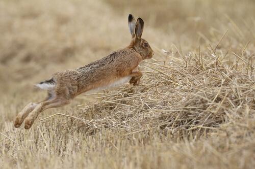 Diferencias entre liebres y conejos