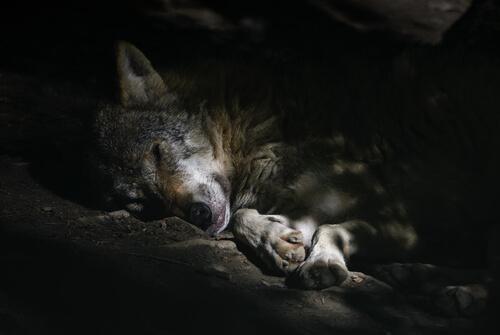Lobo: comportamiento