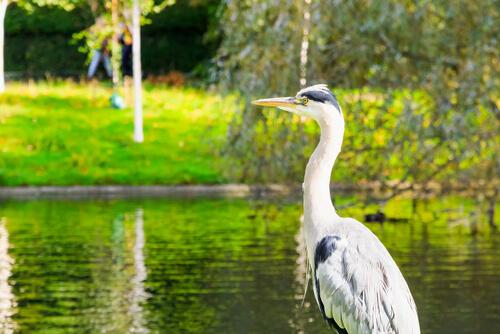 Lugares para amantes de las aves en España: garza