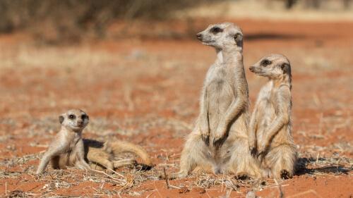 Un mamífero como el suricato: características