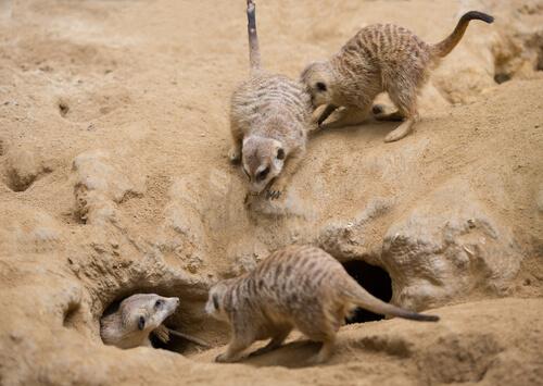 Un mamífero como el suricato: comportamiento
