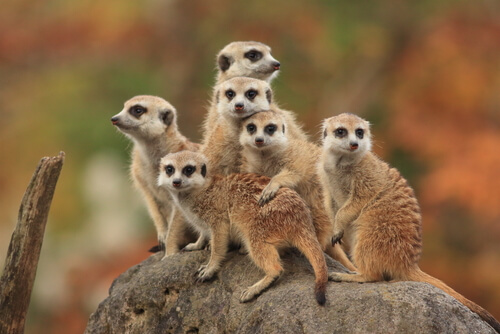 Suricato: características, comportamiento y hábitat
