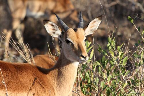 Mamíferos hervíboros como los antílopes comprenden al impala, que goza de su propio hábitat