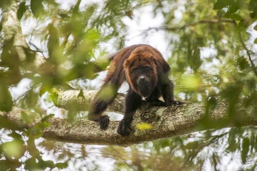 Mono aullador: características