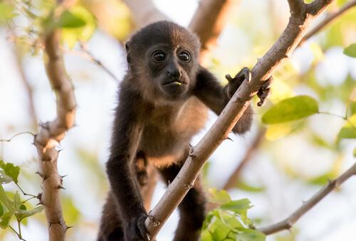 Mono aullador: comportamiento