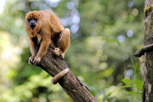 Mono aullador: hábitat