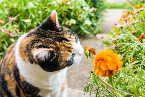 Olores que atraen a los gatos: flores