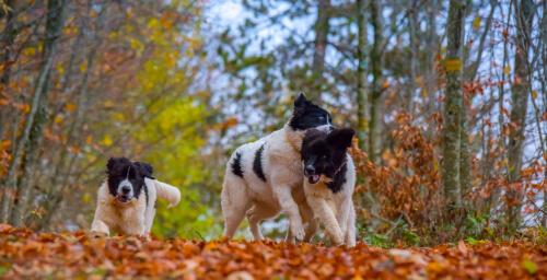 Source de la race de chien Landseer: Historique