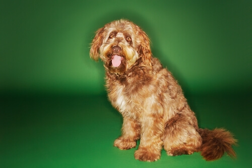 Otterhound: características del perro de nutria