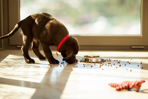 Labrador puppy eating kibble off the floor