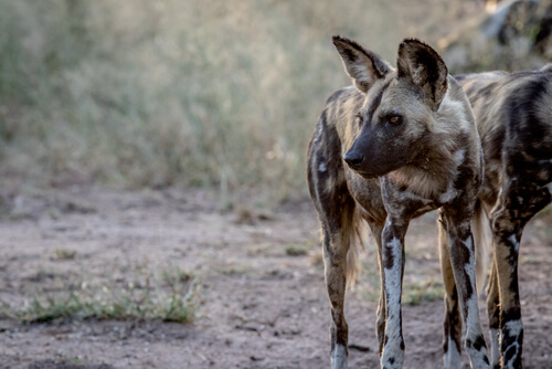 Perro salvaje africano: en peligro de extinción