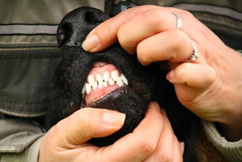 Perros: encías inflamadas