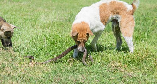 Picadura de víbora a perros: tratamiento