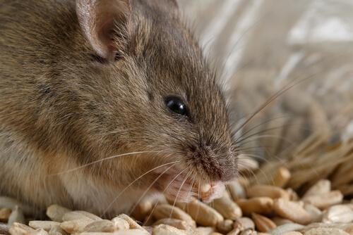 Prevenir plaga de ratones.