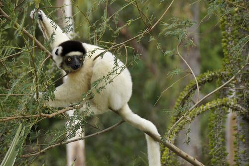 Qué son los lémures