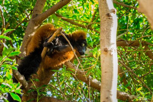 Primate: comportamiento del lemur