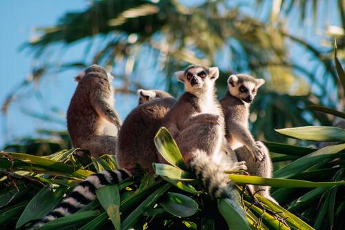 Primate: el hábitat del lémur en Magadascar
