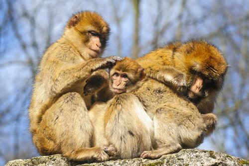 Primates: comportamiento del macaco de Gibraltar
