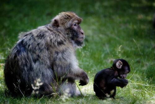 Primates: hábitat del macaco de Gibraltar